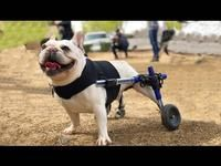 Disabled Dog Gets New Wheels From Veteran