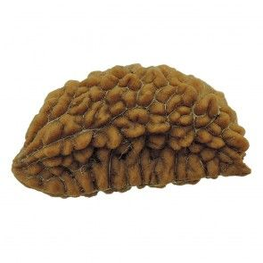 Buy Best One Mukhi Rudraksha Online