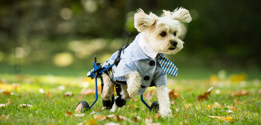 Dog Wheelchairs – A Big Boon - Barnettnce Diary