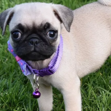 Waaba Pugs Review - Waabapugs Dogs & Puppies for Sale Reviews