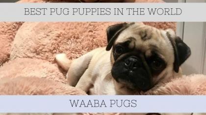 Waaba Pugs - Pug Puppies For Sale