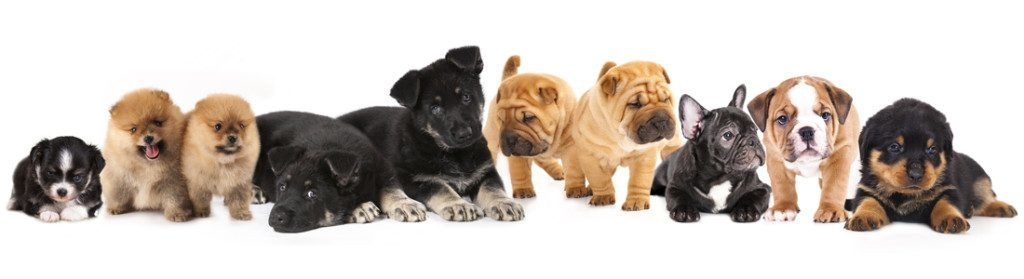 HOME - Diamond puppies for sale