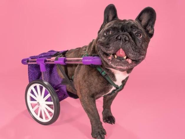 Dog Wheelchairs – Several Reasons Your Canine Needs Them