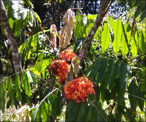 Ashoka (Saraca Asoca) - Uses, Benefits, Ayurvedic Properties & Dosage