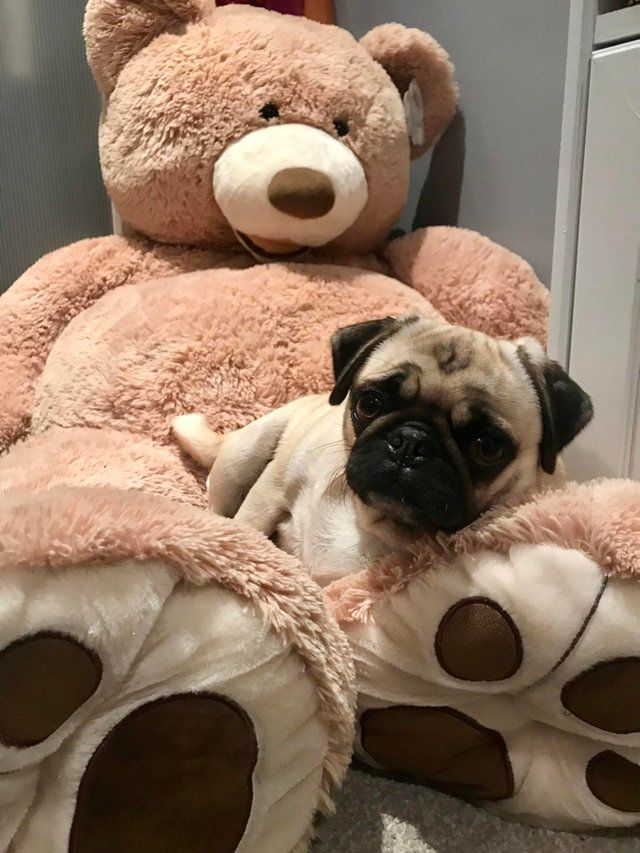Available Waaba Pugs | Waabapugs for Sale
