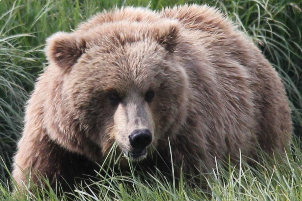 Katmai Bear Viewing Tours by Alaskan Gamefisher