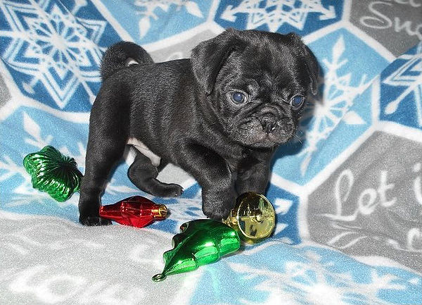 Available Pug Puppies - Waaba Pugs - Waabapugs Puppies for Sale