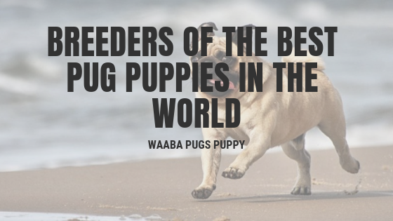 Waaba-Pugs puppy breeder, Review