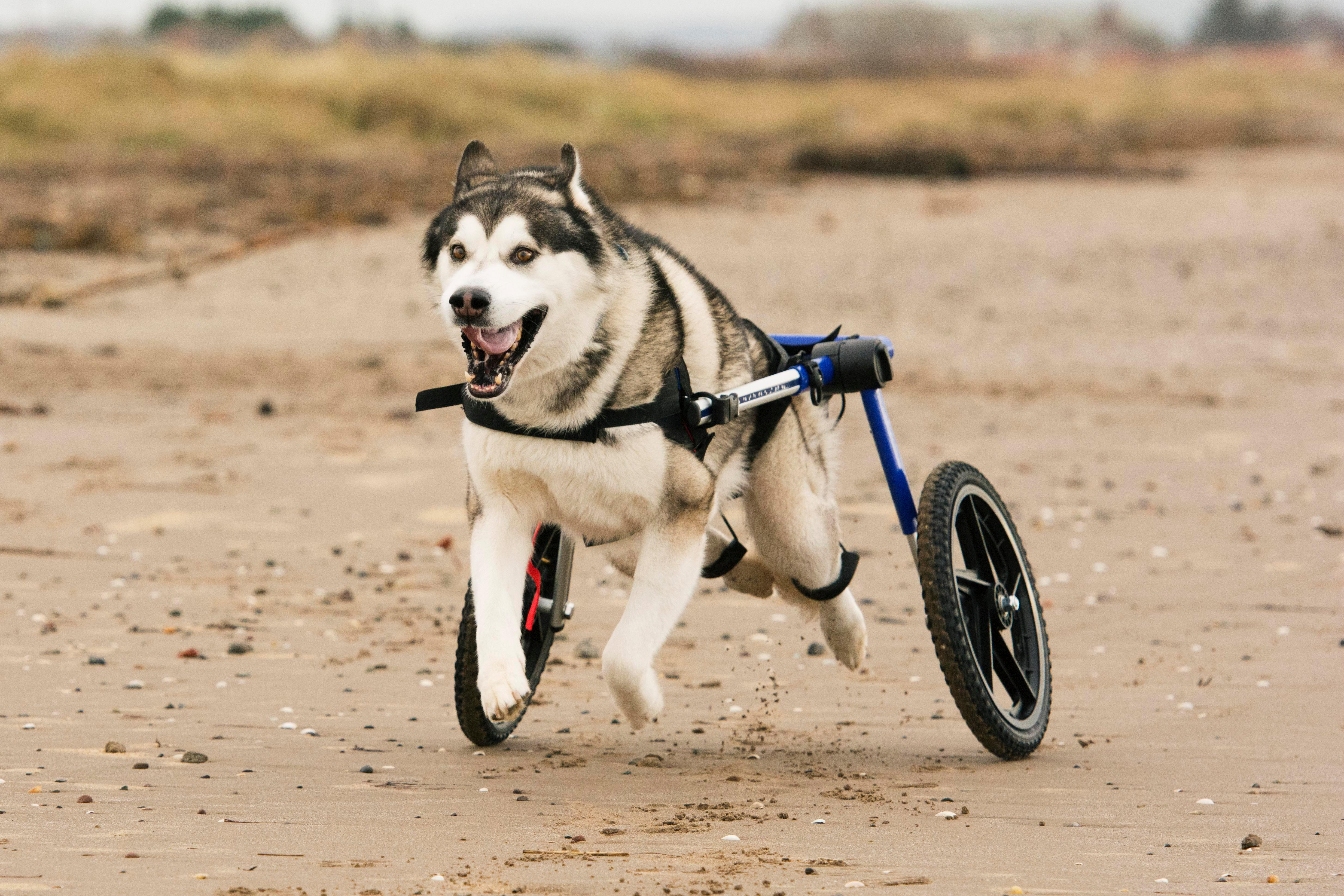Dog Wheelchairs Is An excellent Solution To Begin Immobility