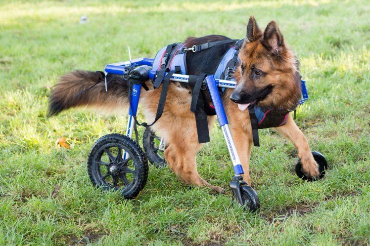 Dogs and Pets can walk again