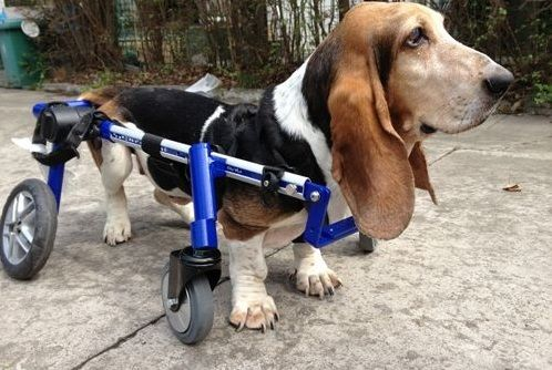 Best Wheelchair for Dogs Walking