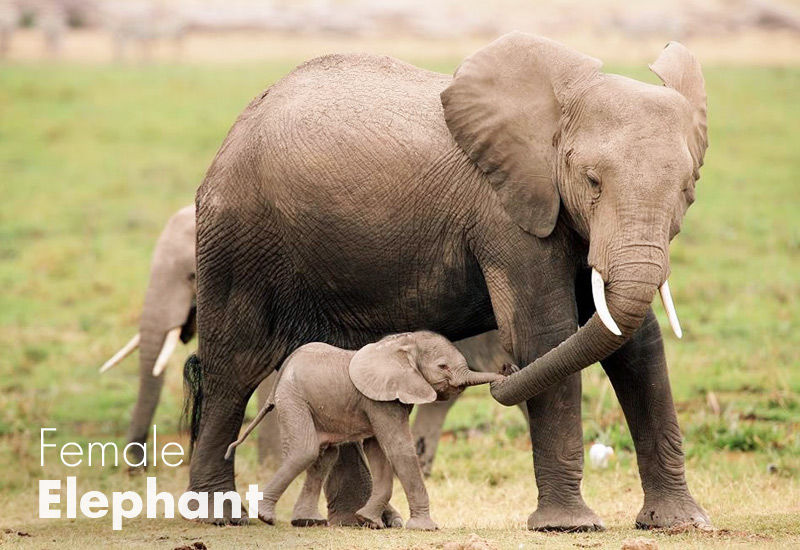 Wildlife Elephant Export South Africa - African Wildlife Exports