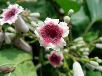 Gandha Prasarini (Paederia foetida) - Uses, Benefits & Effects On Doshas