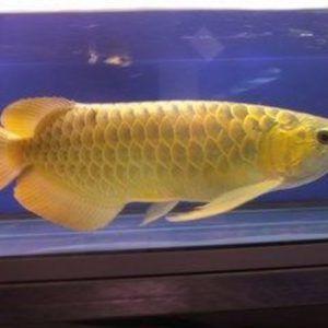 HOME - Arowana fish store