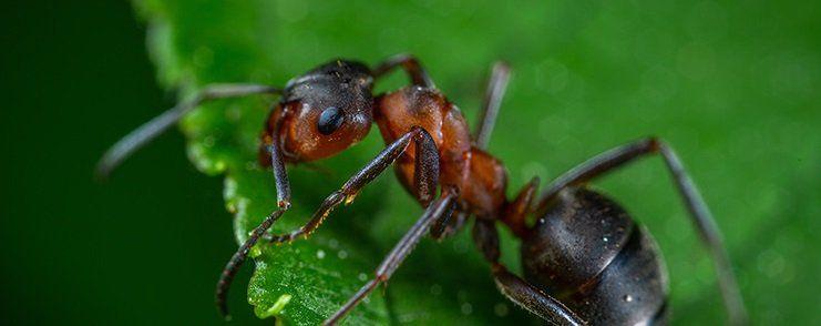 Hormigas Desarrollo
