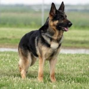 Dog For Sale in Hyderabad, Chennai | Dog Adoption in Hyderabad