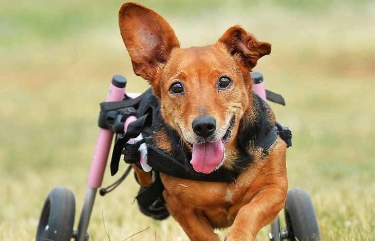 Why Your Doggie Needs A Dog Wheelchairs