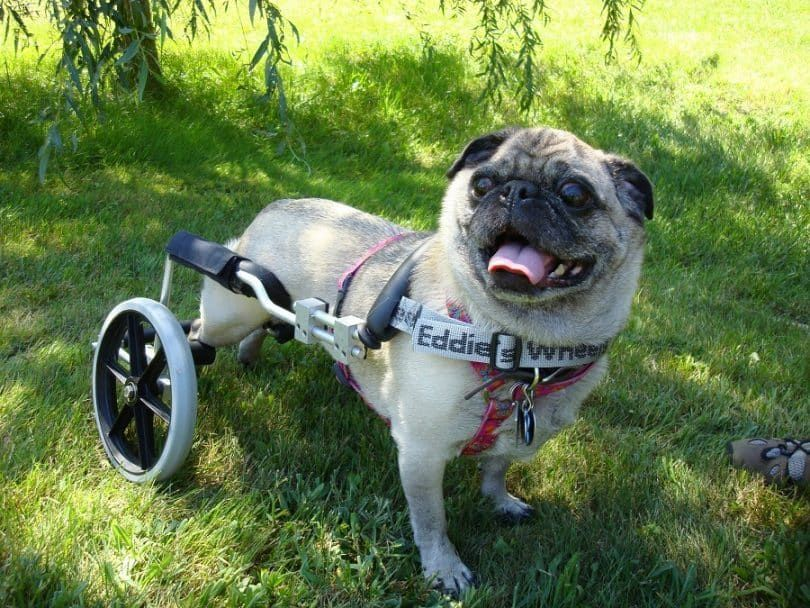 Dog Wheelchairs – Keep Those Doggies Rollin!
