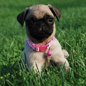 Waaba-Pugs puppy breeder | Waabapugs puppy Review