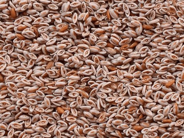 Organic Psyllium Seeds Manufacturers, Suppliers & Exporters