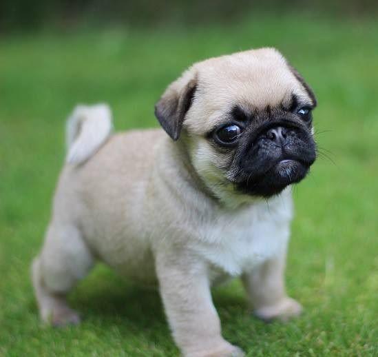 Purchase Waaba-Pugs Puppy - Pug Puppy - Waabapugs