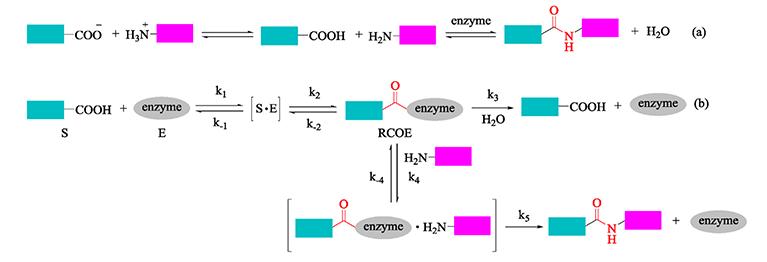 Peptide-enzyme Conjugation - Creative Peptides