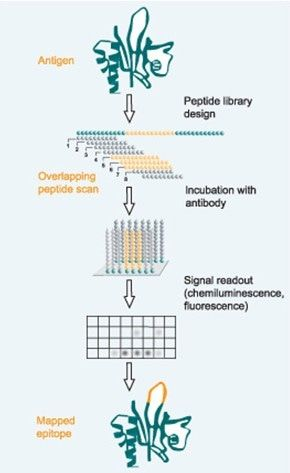 Epitope Mapping Services - Creative Peptides