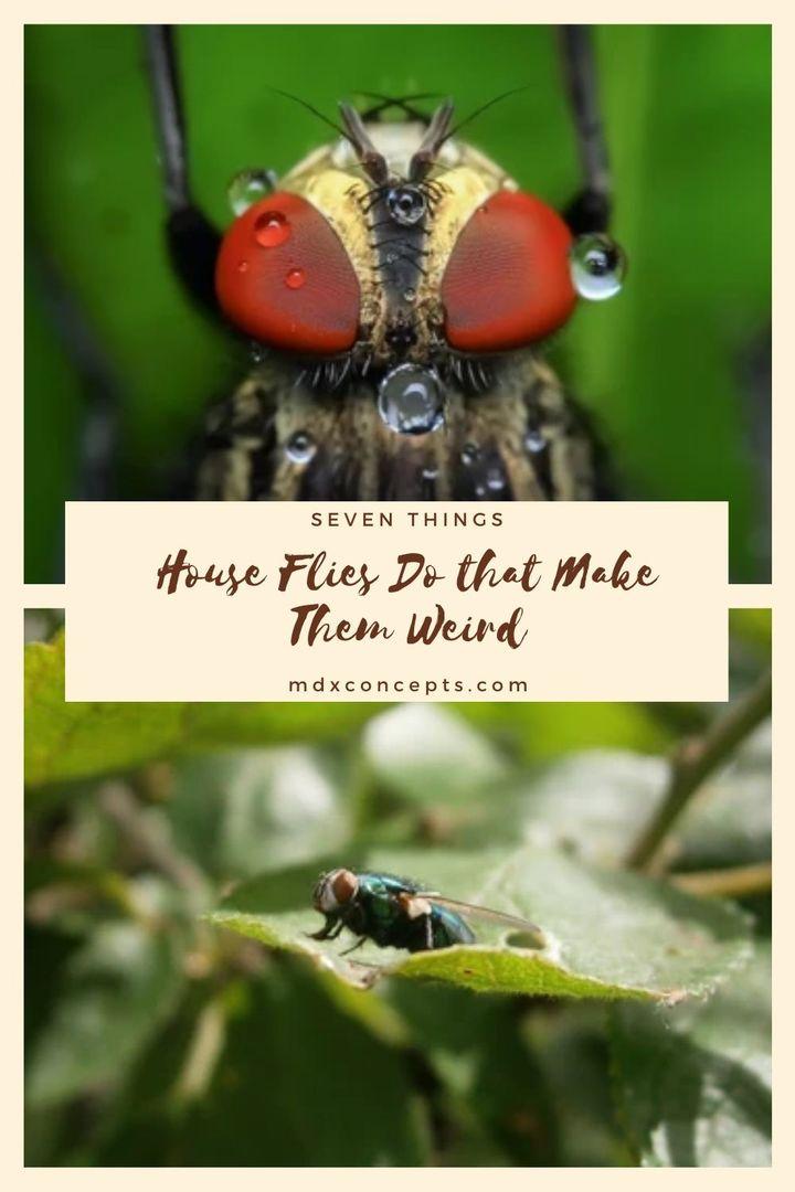 Seven Things House Flies Do that Make Them Weird
