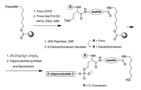 Peptide-oligonucleotide Conjugation - Creative Peptides