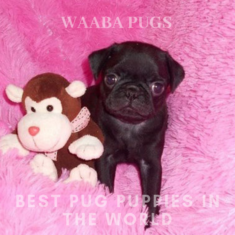 Waaba-Pugs Puppy Breeder_Waaba-Pugs Puppies For Sale