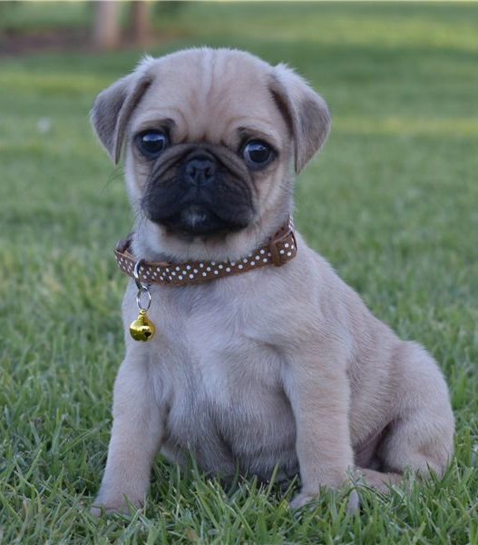 Waaba Pugs | Available Waabapugs Puppies For Sale