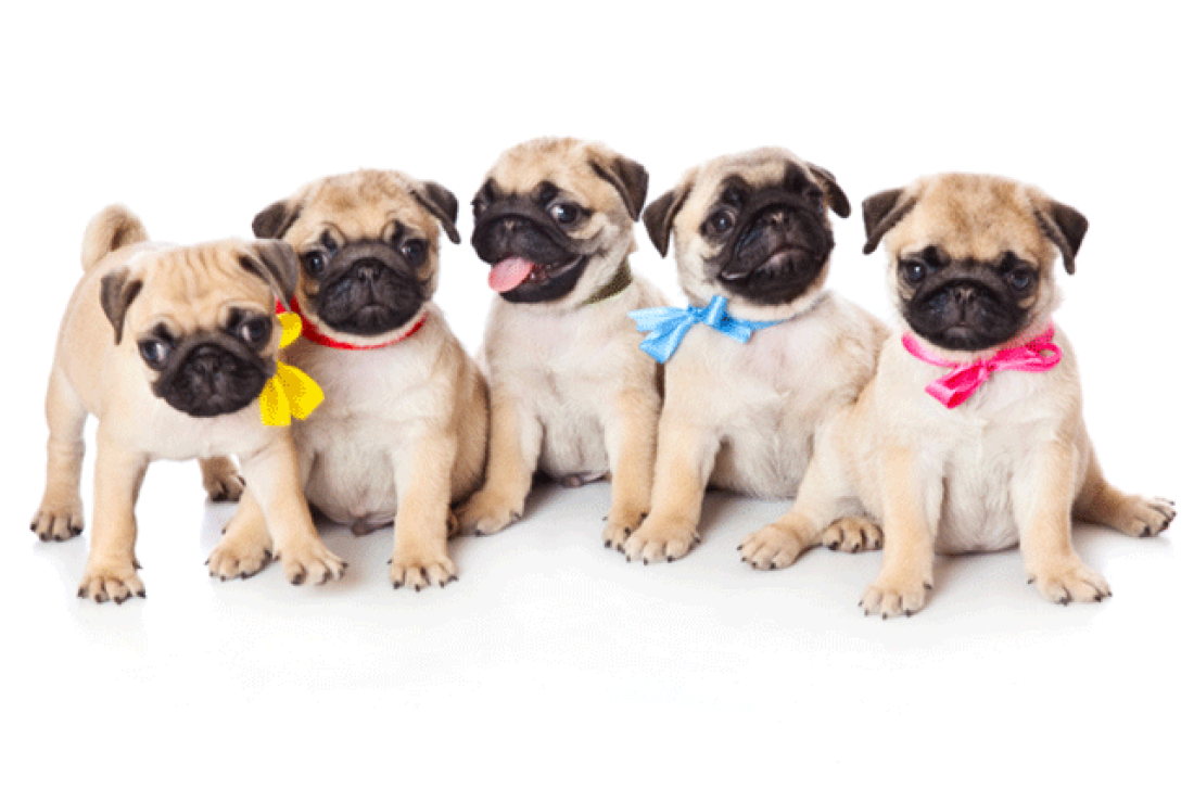 Waaba Pugs Review - Waabapugs Puppy Reviews
