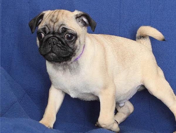 Waaba Pugs |  Waabapugs Puppies For Sale