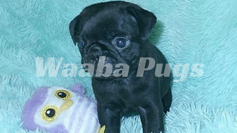 Waabapugs puppies breeder | Waaba-Pugs puppy breeder