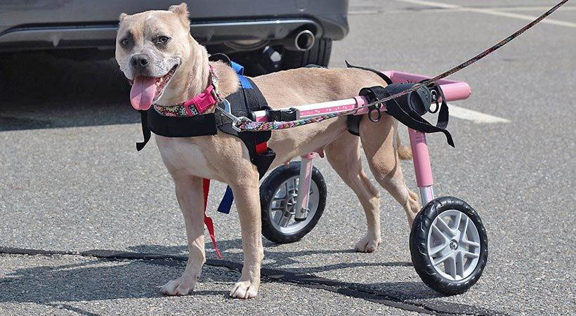 Great Benefits Of Your Dog Wheelchair