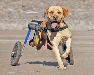 Wheelchairs For Dogs With Disabilities - Mobility Care
