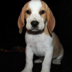Dogs For Sale in Hyderabad   Dog Adoption in Hyderabad   ThePetCare