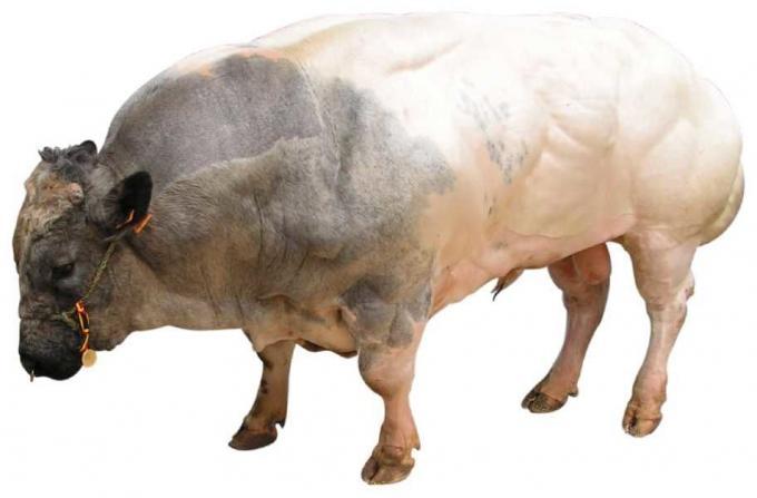 Myostatin Impact On Animals. - Keebo Sports Supplements