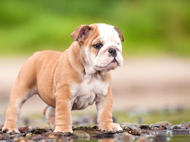 Home | Home English Bulldog