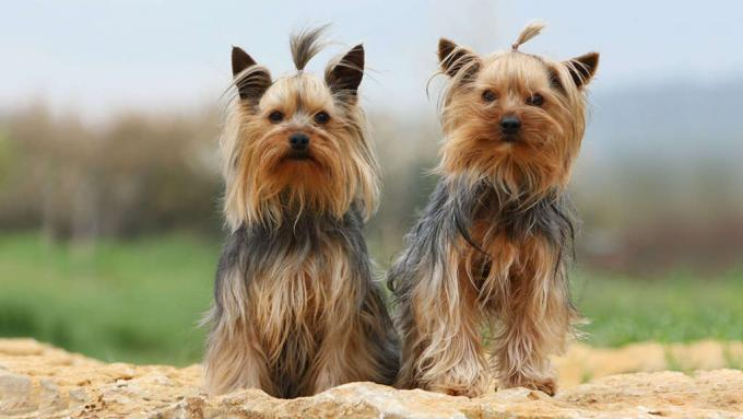 Yorkshire Terrier Puppies for Sale NYC   Central Park Puppies