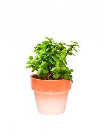 Lucky Plants
