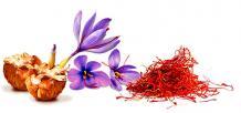 saffron cultivation,saffron harvesting, kashmiri saffron, saffron malaysia