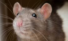 How to Get Rid of Rats in the House? – MDXConcepts