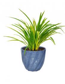 Chlorophytum Plants