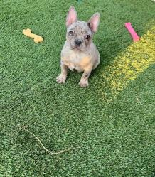 Available cheap French Bulldog Puppies for Sale at best price - Kate Frenchies