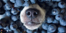 Can Dog Eats Blueberries | petsfoodnutrition.com