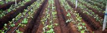 Ecoflo Irrigation - Bhavani Drip   Total Irrigation Solution
