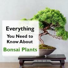Benefits Of Bonsai Plants