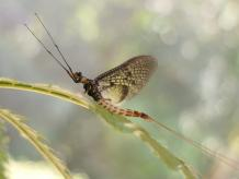Danish Mayfly named 2021 insect of the year - News Vibes of India