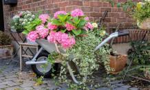 Planting Hydrangea Flowers